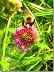 BUMBLEBEE by Errol Lee Shepherd_IMG_0053_thumb