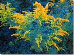 'HEAVENLY GOLDENROD', by Errol Lee Shepherd_IMG_0019