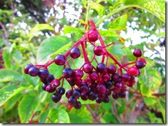 'BERRIES IN THE SUN', by Errol Lee Shepherd_IMG_0012