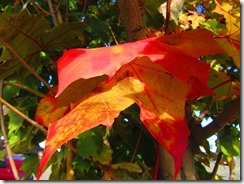 'RED LEAF' by Errol Lee Shepherd_2015_11_02_IMG_0037