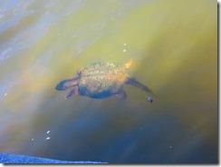 '200 lb. UNDERSEA TURTLE', by Errol Shepherd_2016_09_05_IMG_0054